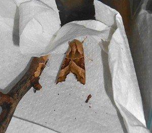 papillon La craintive